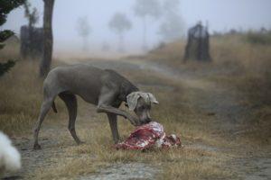 chien qui mange de la viande crue